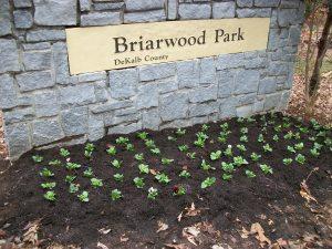 Blub planting @ Park 004